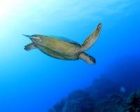 澳洲障碍石标极大的绿色礁石乌龟 免版税库存图片