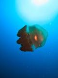 澳洲障碍鱼大极大的果冻礁石 免版税图库摄影