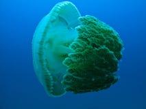 澳洲障碍鱼大极大的果冻礁石 库存照片