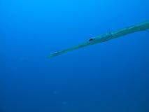 澳洲障碍鱼极大的针礁石 库存图片
