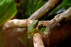 澳洲青蛙 库存图片