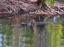 澳洲鳄鱼昆士兰盐水游泳 免版税库存照片