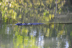 澳洲鳄鱼昆士兰盐水游泳 免版税图库摄影