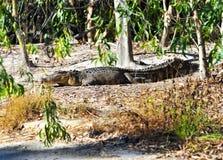 澳洲鳄鱼通配昆士兰的盐水 图库摄影
