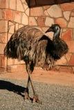 澳洲鸟中心鸸红色 免版税库存照片