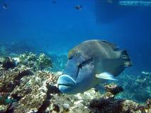 澳洲barier极大的humphead礁石濑鱼 库存照片