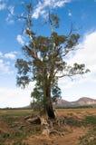 澳洲camaldulensis桉树胶结构树 库存图片