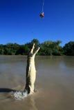 澳洲crocodille跳的kakadu 免版税库存照片