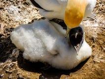 澳洲gannet桑属serrator母鸡和次级少年小鸡, 图库摄影