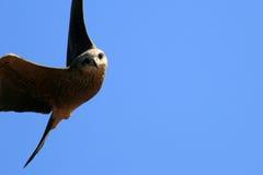 澳洲kakadu风筝国家公园吹口哨 免版税库存照片