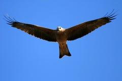 澳洲kakadu风筝国家公园吹口哨 免版税库存图片