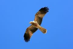 澳洲kakadu风筝国家公园吹口哨 免版税图库摄影