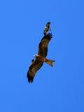 澳洲kakadu风筝国家公园吹口哨 库存照片