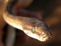 澳洲Python 图库摄影