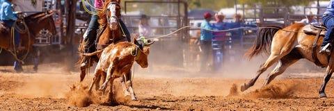澳队小牛系住的圈地事件 图库摄影