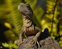 澳洲大蜥蜴 免版税库存图片