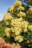 澳洲柔毛金合欢树 免版税库存照片