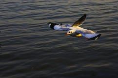 澳洲海岸飞行mooloolaba昆士兰被采取的海鸥阳光 免版税图库摄影