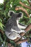 澳洲熊被采取的考拉照片 库存照片