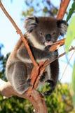 澳洲熊被采取的考拉照片 免版税图库摄影