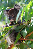 澳洲熊被采取的考拉照片 库存图片