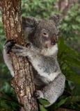 澳洲熊被采取的考拉照片 免版税库存图片