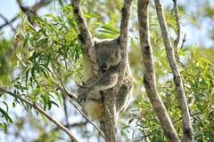 澳洲熊被采取的考拉照片 图库摄影