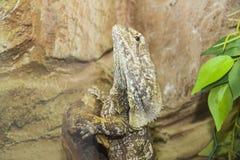 从澳洲的褶边收缩的蜥蜴 库存图片