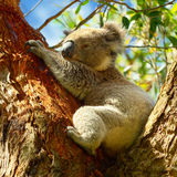 澳洲 美丽的考拉 国家公园 免版税图库摄影