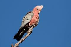 澳洲美冠鹦鹉galah 库存图片