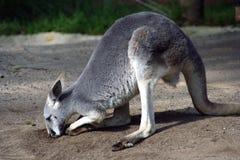 澳洲袋鼠 库存图片