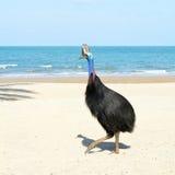 澳洲通配海滩的食火鸡 免版税库存图片