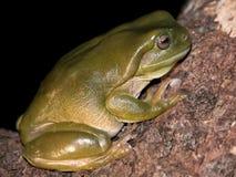 澳洲青蛙litoria splendida结构树 免版税库存图片
