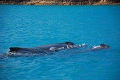 澳洲驼背对鲸鱼 库存图片