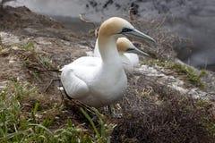 澳洲gannet,桑属serrator巢殖民地, Muriwai海滩,新西兰 免版税库存图片