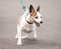 激动的杰克罗素和散步奇瓦瓦狗发怒的狗 免版税库存图片