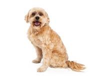 激动的马尔他和长卷毛狗混合狗 免版税库存照片