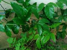 激情植物亚速尔群岛 库存图片