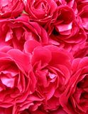 激情粉红色 库存图片
