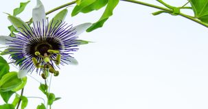 Passion Flower Blooming Stock Footage