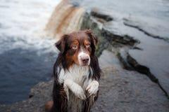瀑布的澳大利亚牧羊人 狗展示把戏 免版税图库摄影