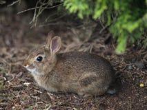 灌木兔子 库存照片