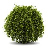 灌木公用角树查出的白色 图库摄影