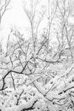 灌木分支在雪的在冬天 图库摄影