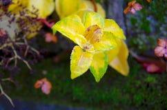 灌木发光的黄色叶子反对深绿的青苔盖了篱芭 免版税库存图片