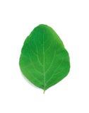灌木叶子雪果 免版税库存照片