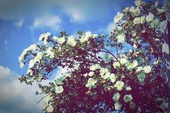 灌木在篱芭附近开花一朵白色狗玫瑰在国家 免版税库存照片