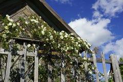 灌木在篱芭附近开花一朵白色狗玫瑰在国家 图库摄影