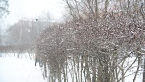 灌木在飞雪期间的冬天 股票视频