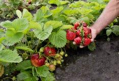 灌木天空草莓草莓 免版税图库摄影